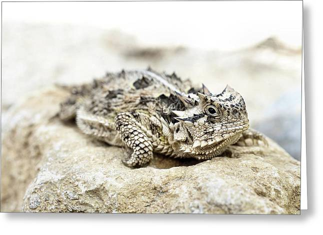 Portrait Of A Horned Lizard Greeting Card by JC Findley