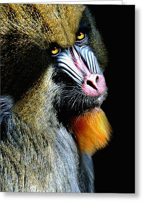 Portrait Of A Mandrill Greeting Card by Diana Angstadt