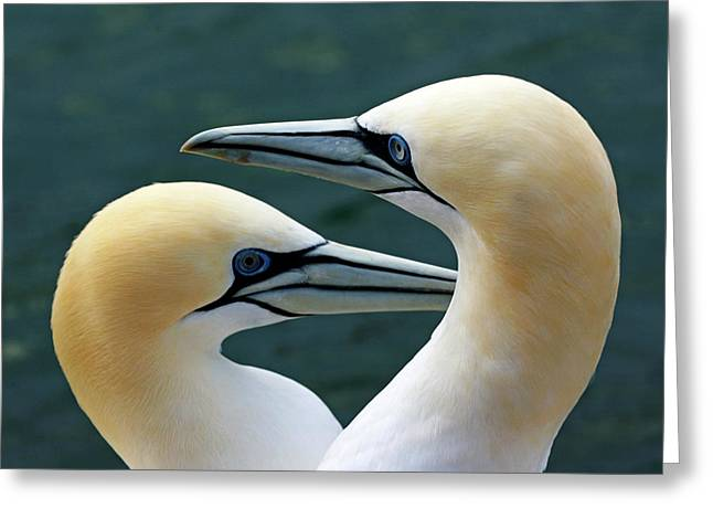 Seabirds Greeting Cards - Portrait of a pair of Northern Gannets Greeting Card by Sami Sarkis