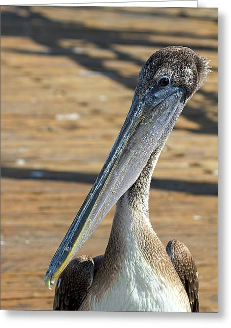 Portrait Of A Pelican On The Pier Greeting Card