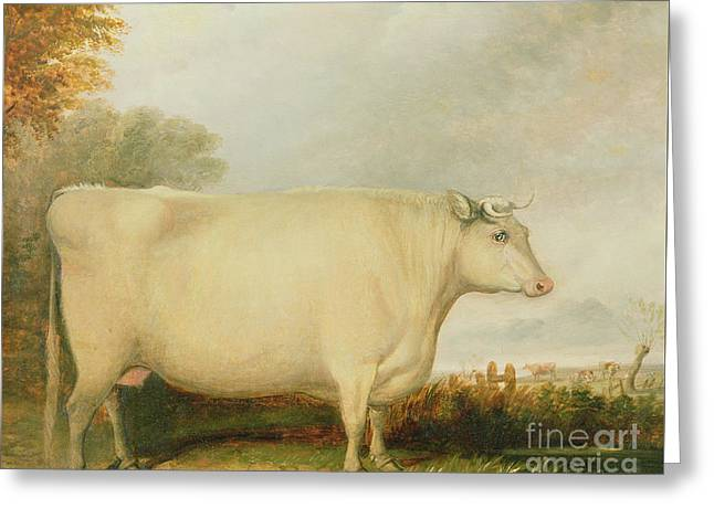 Portrait Of A Prize Cow Greeting Card by John Vine