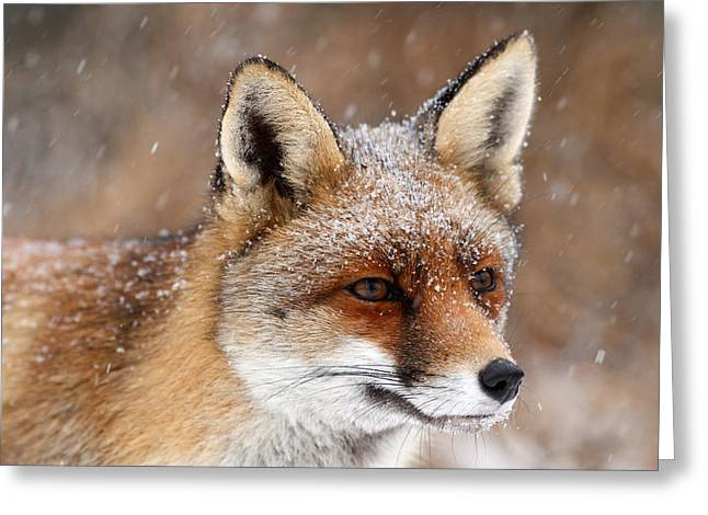 Portrait Of A Red Fox In A Snow Storm Greeting Card by Roeselien Raimond