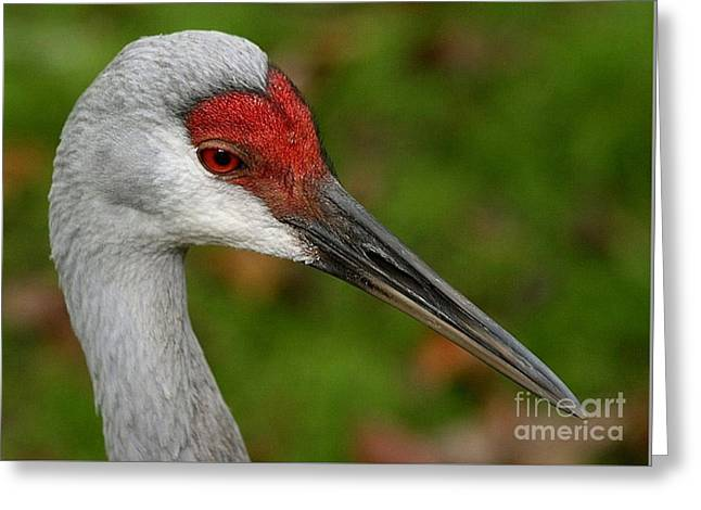 Portrait Of A Sandhill Crane Greeting Card