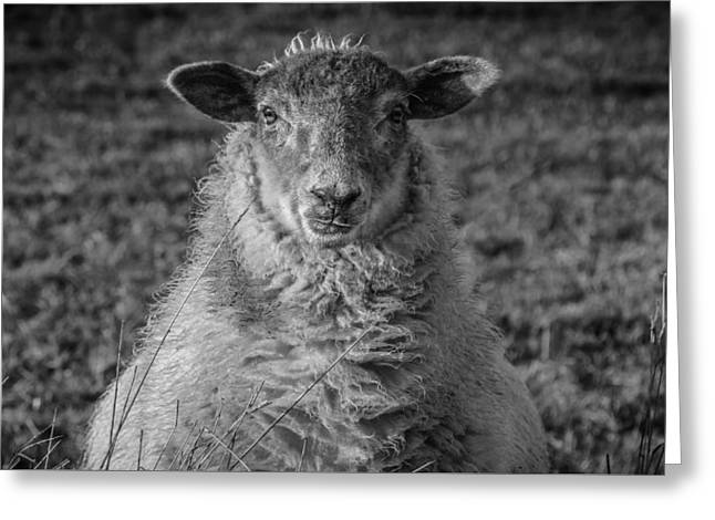 Portrait Of A Sheep Greeting Card by Chris Fletcher