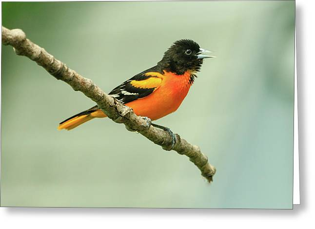 Portrait Of A Singing Baltimore Oriole Greeting Card