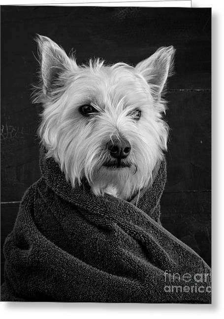 Portrait Of A Westie Dog 8x10 Ratio Greeting Card by Edward Fielding