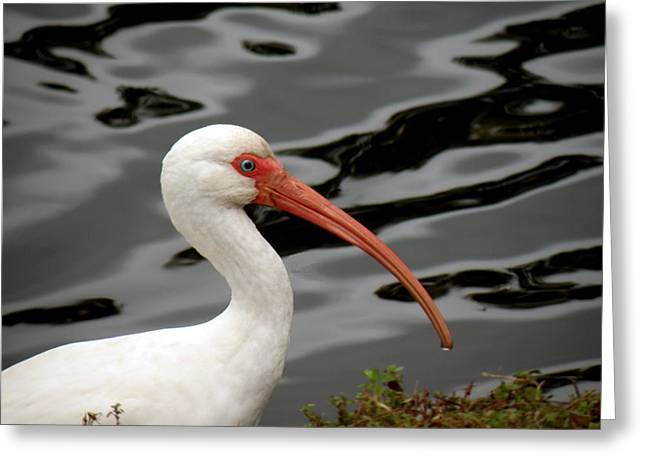 Portrait Of A White Ibis Greeting Card by Rosalie Scanlon
