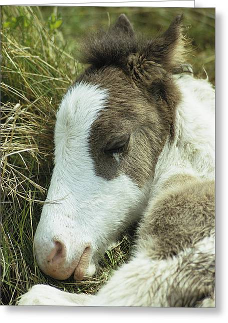 Wildlife Refuge. Greeting Cards - Portrait Of A Wild Pony Foal Sleeping Greeting Card by James L. Stanfield