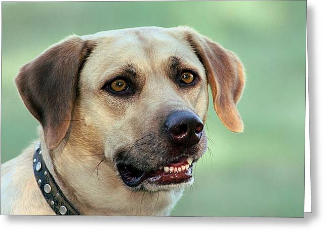 Portrait Of A Yellow Labrador Retriever Greeting Card