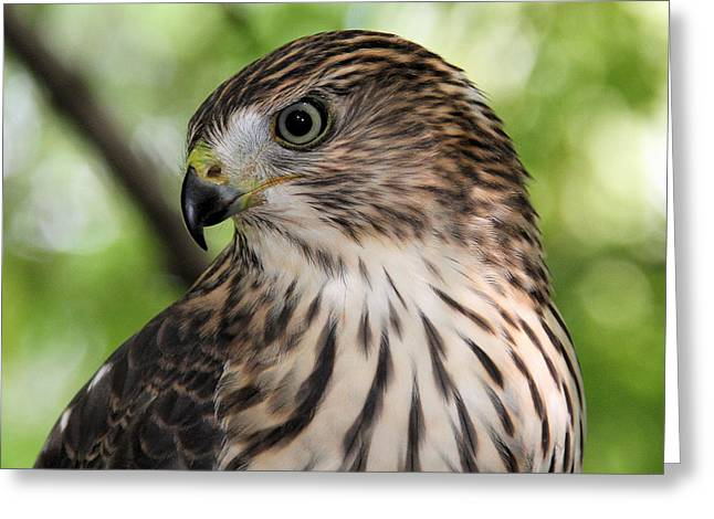 Portrait Of A Young Cooper's Hawk Greeting Card by Doris Potter