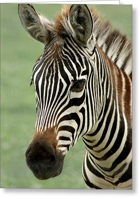 Zebras Greeting Cards - Portrait of a Zebra Greeting Card by Barbara  White