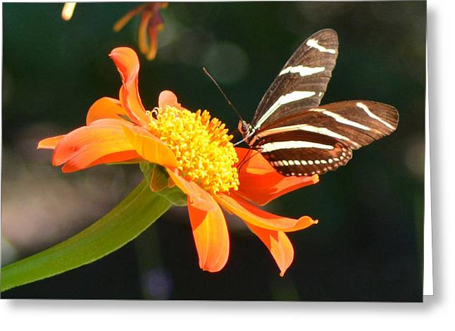 Portrait Of A Zebra Heliconia Greeting Card