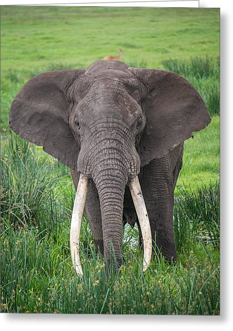 Portrait Of African Elephant Loxodonta Greeting Card