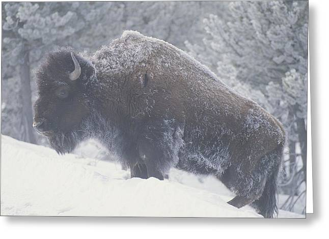 Portrait Of An American Bison Greeting Card by Michael Melford