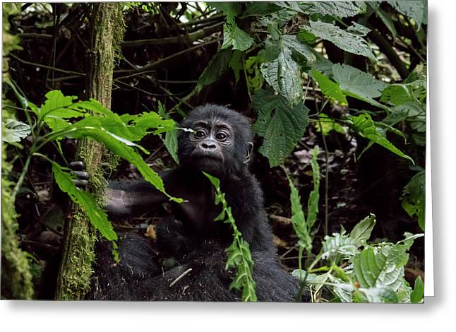 Portrait Of Baby Mountain Gorilla, Bwindi Impenetrable Forest Na Greeting Card