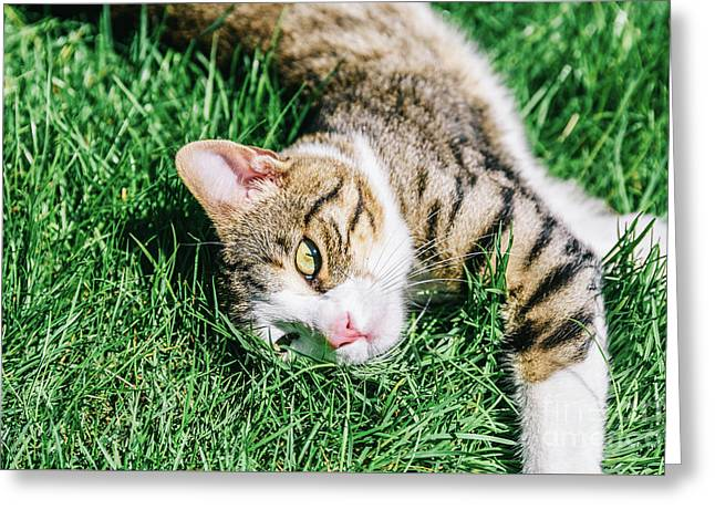 Portrait Of Cute Domestic Tabby Cat Playing In Grass Greeting Card