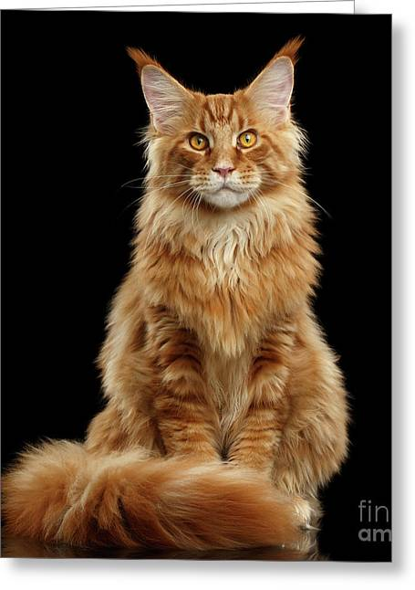 Portrait Of Ginger Maine Coon Cat Isolated On Black Background Greeting Card
