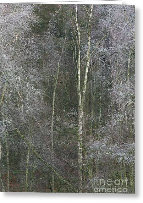 Portrait Of Silver Birch Greeting Card