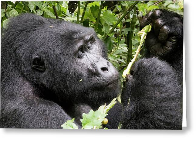 Portrait Of Silverback Mountain Gorilla, Bwindi Impenetrable For Greeting Card