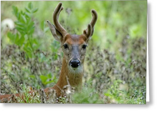 Portriat Of Male Deer Greeting Card