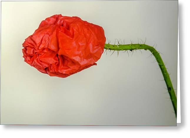 Posing Fire Red Poppy Greeting Card