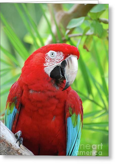 Posing Poised Scarlet Macaw Bird Greeting Card by DejaVu Designs