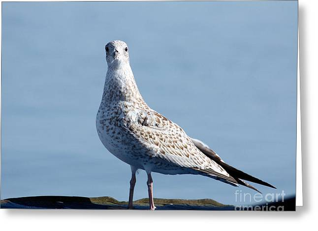Posing Seagull Greeting Card by Denise Jenks
