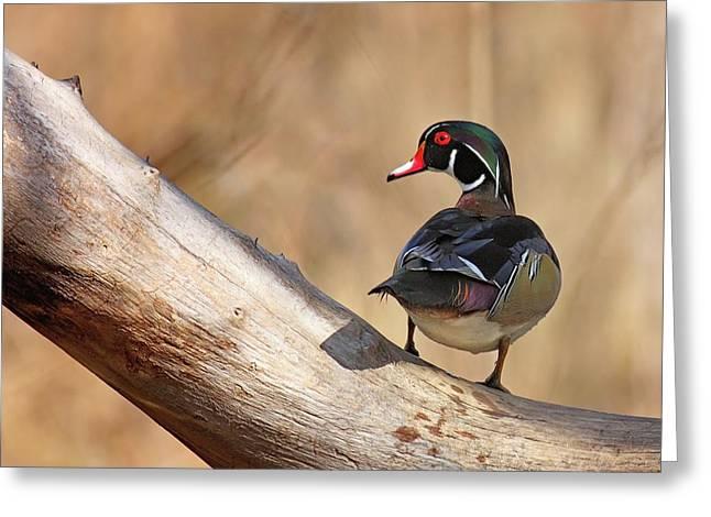 Posing Wood Duck Greeting Card