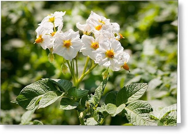 Potato Bunch Of White Flowers Greeting Card by Arletta Cwalina