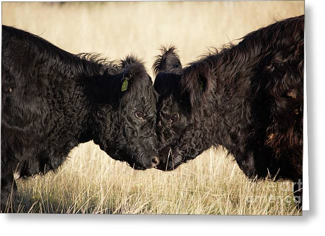 Headbutting Bulls In Richmond Park England Greeting Card