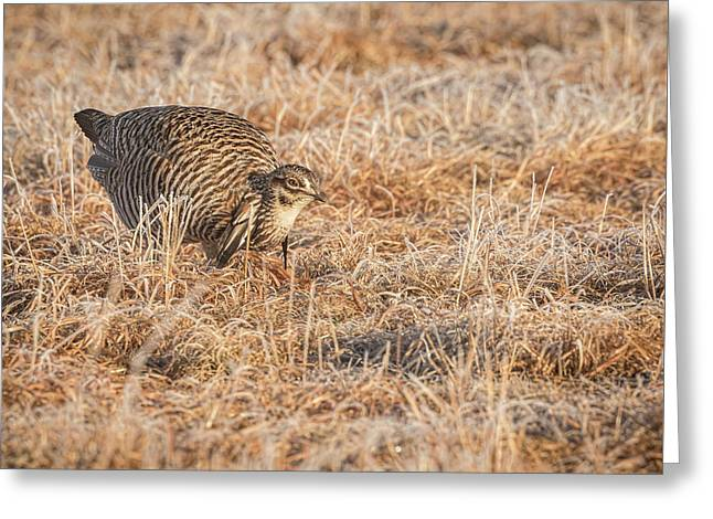 Prairie Chicken 11-2015 Greeting Card by Thomas Young