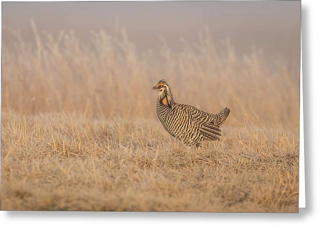 Prairie Chicken 5-2015 Greeting Card by Thomas Young