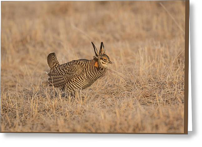 Prairie Chicken 6-2015 Greeting Card by Thomas Young