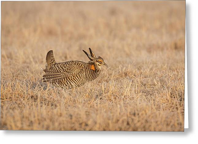 Prairie Chicken 7-2015 Greeting Card by Thomas Young