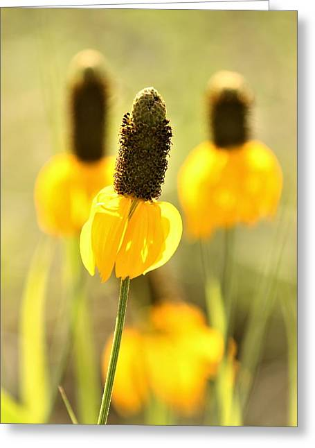 Prairie Coneflower In Morning Light Greeting Card