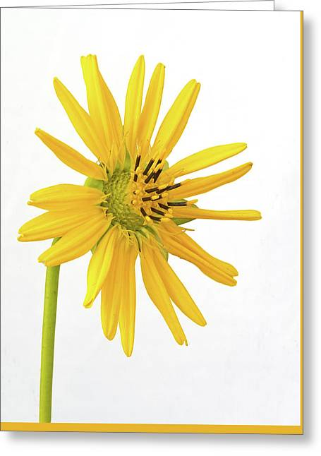 Prairie Dock Greeting Card