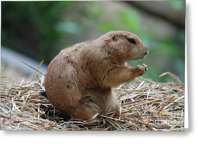 Black tailed prairie dog greeting cards page 6 of 7 fine art prairie dog with his paws up ready to battle greeting card m4hsunfo