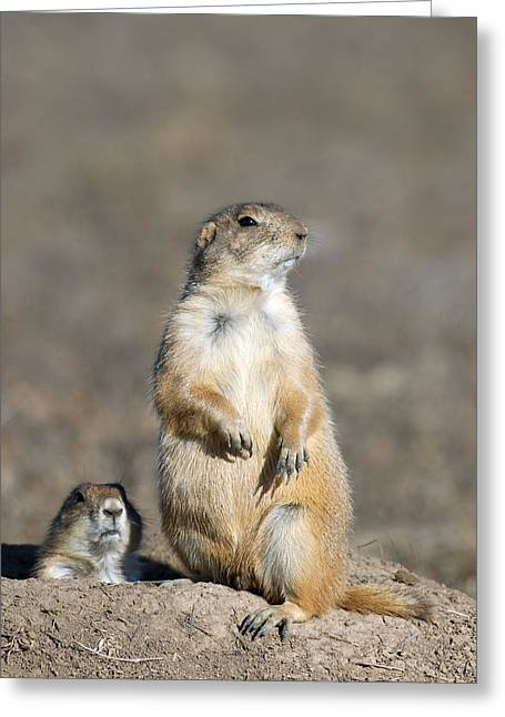 Prairie Dogs On Watch Greeting Card by Gary Langley