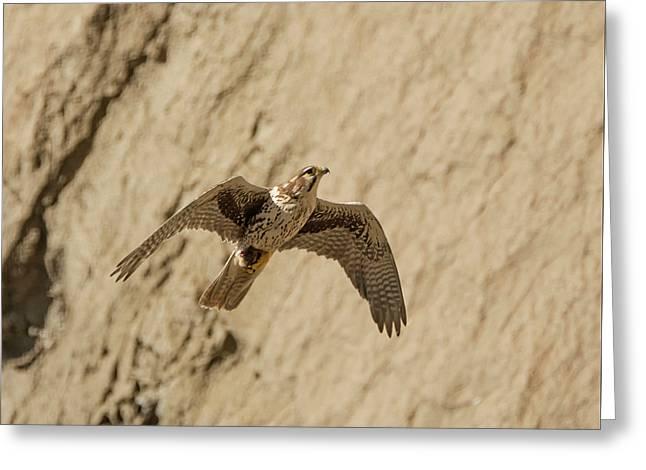 Prairie Falcon In Flight Greeting Card by Loree Johnson