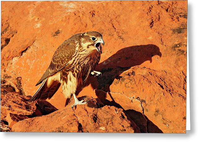 Prarie Falcon Greeting Card by Dennis Hammer