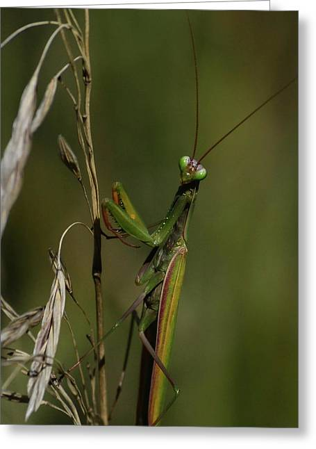 Praying Mantis 2 Greeting Card by Rae Ann  M Garrett