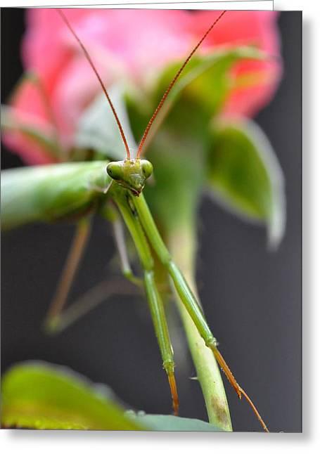 Praying Mantis 3 Greeting Card by Noah Cole