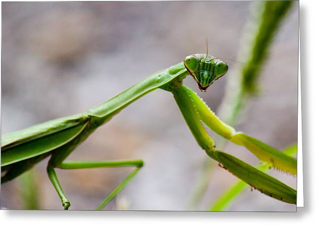Praying Mantis Looking Greeting Card by Jonny D