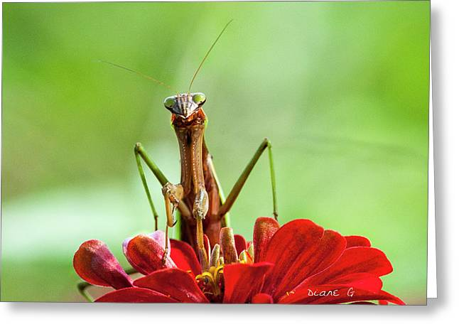 Praying Mantis On Zinnia Greeting Card