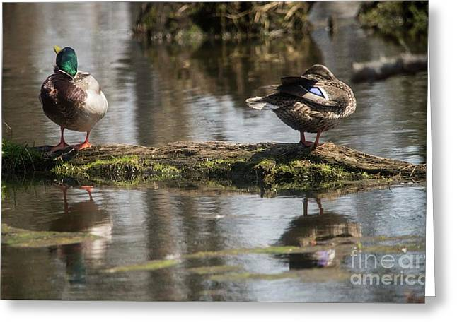 Greeting Card featuring the photograph Preening Ducks by David Bearden