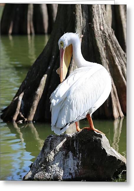 Preening Pelican Greeting Card by Carol Groenen