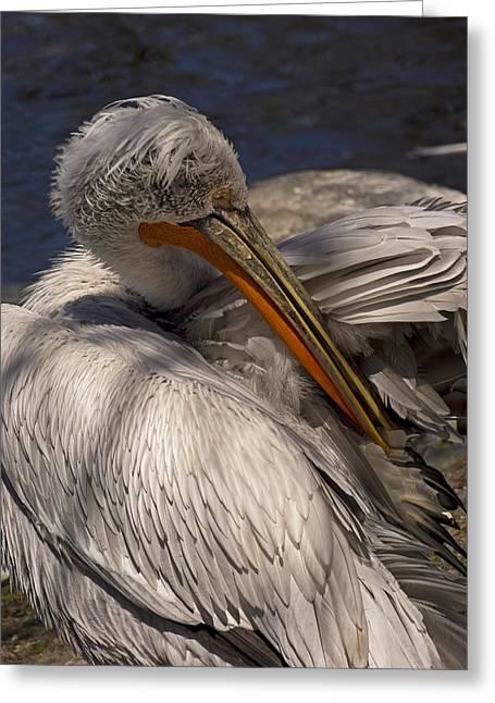 Preening Pelican Greeting Card by Inge Riis McDonald