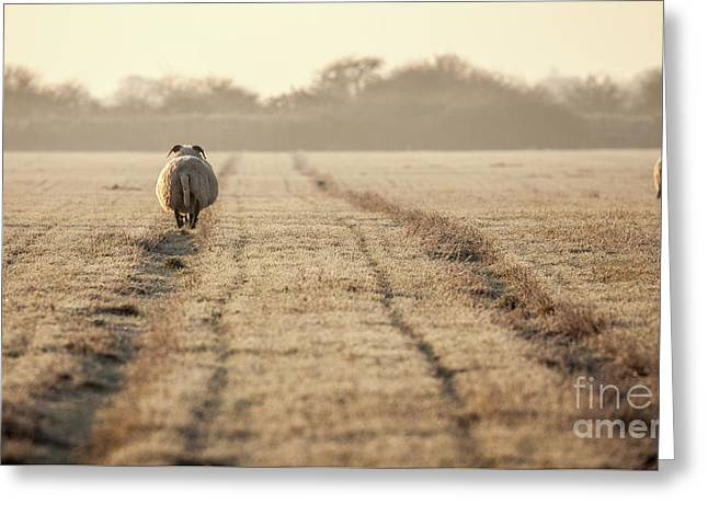 Pregnant Sheep Walking The Track Greeting Card by Simon Bratt Photography LRPS