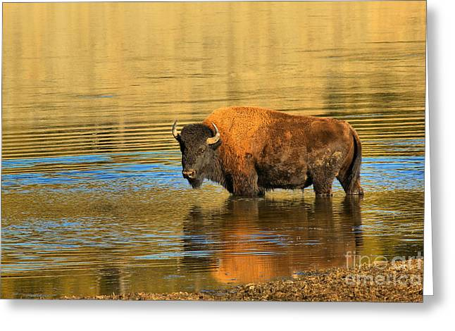 Greeting Card featuring the photograph Preparing To Swim The Yellowstone by Adam Jewell