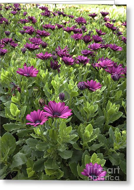 Prescott Park - Portsmouth New Hampshire Osteospermum Flowers Greeting Card by Erin Paul Donovan